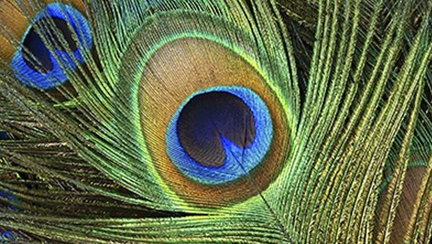 peacocks_eye