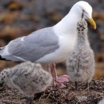 """Seagull Hysteria: Guess Who's """"Mugging"""" the Taxpayer?"""